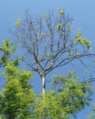 La maladie du frêne